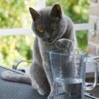 Kattenrassen: Brits Korthaar