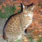 Amerikaans kattenras uit siamees en abessijn: de ocicat