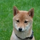 De Japanse Shiba Inu hond