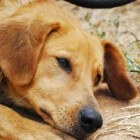 Een rouwende hond begeleiden als zijn maatje is overleden