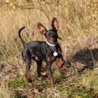 Hondenrassen: De dwergpincher