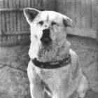 Hachiko. Was dit de trouwste hond ter wereld?