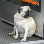 Aandoeningen hond: overgewicht