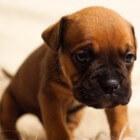 Aandoeningen puppy: groeipijn (enostosis)