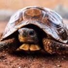Een schildpad als huisdier