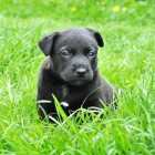 De puberteit bij de hond: waar je rekening mee moet houden