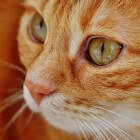 Clickertraining voor de kat: het belonen van goed gedrag