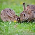 Konijnen koppelen: hoe worden twee konijnen beste maatjes?