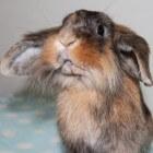Konijnenrassen: de tien opvallendste soorten konijnen