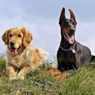 Alabama rot: mysterieuze ziekte bij honden