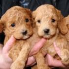 Fokken met honden: Voor het dekken