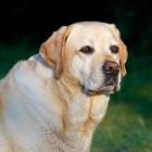 Chippen hond of kat: regels, tips en hoe het werkt
