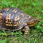 Gewone doosschildpad kopen. Terrarium en benodigdheden