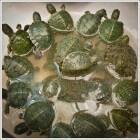 Waterschildpad kopen. Terrarium en benodigdheden