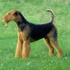 De Airedale Terrier, de koning der terriërs