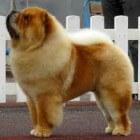 Chinees hondenras Chowchow, teddybeer of niet?