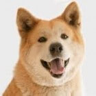 De akita, de nationale hond van Japan