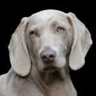 De weimaraner, een Duitse jachthond