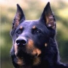 Beauceron, herder uit Frankrijk