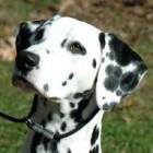 Dalmatiër, een stippeltjeshond