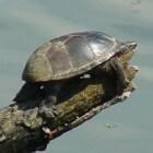 Muskusschildpad: een kleinblijvende schildpad als huisdier