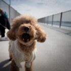 Hond blaffen afleren met een anti-blafband of schokband