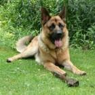 Castratie/sterilisatie bij honden