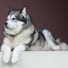 Hondenrassen: De oerhond Alaska-malamute