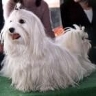 Hondenrassen: De populaire Maltezer