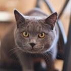 De snorharen van de kat