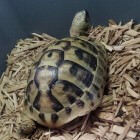Een Griekse landschildpad, een schildpad in huis
