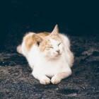 Feline Infectieuze Peritonitis (FIP) dodelijke kattenziekte