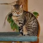 Kattenrassen: De gracieuze Egyptische mau