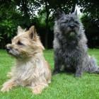 Een cairn terriër: de juiste hond voor mij?