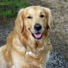 Een golden retriever: de juiste hond voor mij?