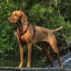 Een vizsla: de juiste hond voor mij?
