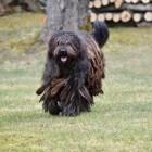Hondenrassen: Bergamasco