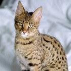 Kattenrassen: Savannah