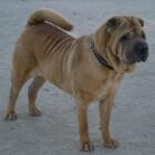 Hondenrassen: Shar-pei