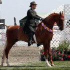 Paardenras: American saddlebred (Kentucky Saddler)