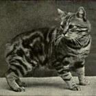 Raskatten: Manx, kat zonder staart