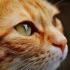 Otimectin gebruiken tegen oormijt bij katten