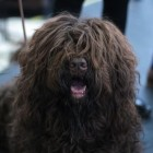Hondenrassen: Barbet of Franse waterhond
