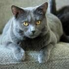 Raskatten: Chartreux, een mooie rustige kat