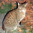 Raskatten: Ocicat, een mooie, nieuwe raskat