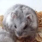 Hamster: de campbelli dwerghamster