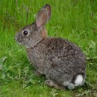 Erfelijkheid en mutaties bij knaagdieren en konijnen
