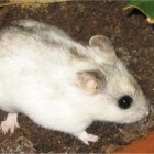 Hamster: Chinese dwerghamster (Cricetulus griseus)
