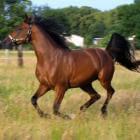 Het Arabisch Volbloed paard: mythen en herkomst