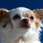 Alles over de Chihuahua
